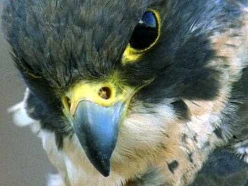 Once on the brink of extinction, the Peregrine Falcon is back, and hanging out at The Four Seasons!