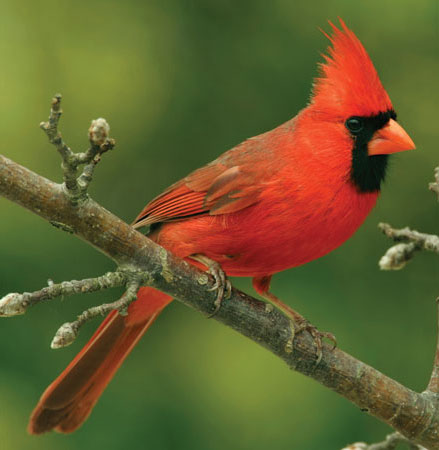 Cardinals are a popular Ansley Park attraction.