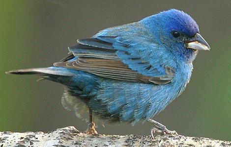 The Blue Indigo. Rarely seen, but found at Stone Mountain.
